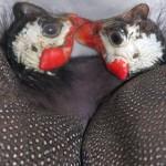 Guineafowl pair
