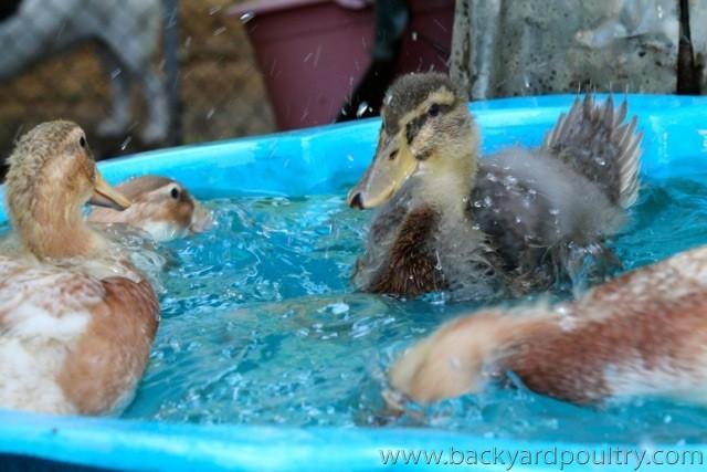 Ducklings_enjoying_a_hot_day_splash_