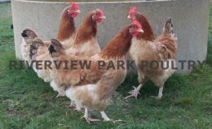 Riverview Park Poultry