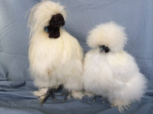 Fancy Feathers Silkies