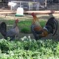 Lawton Park Poultry Stud
