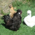 Silkies bred by Yummy Gardens Melbourne