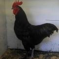Cagi Poultry Stud