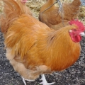 Country Chooks