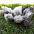 Porchside Poultry