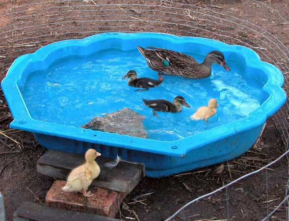 Backyard Chickens Duck Pond : Duck Pond & call ducks