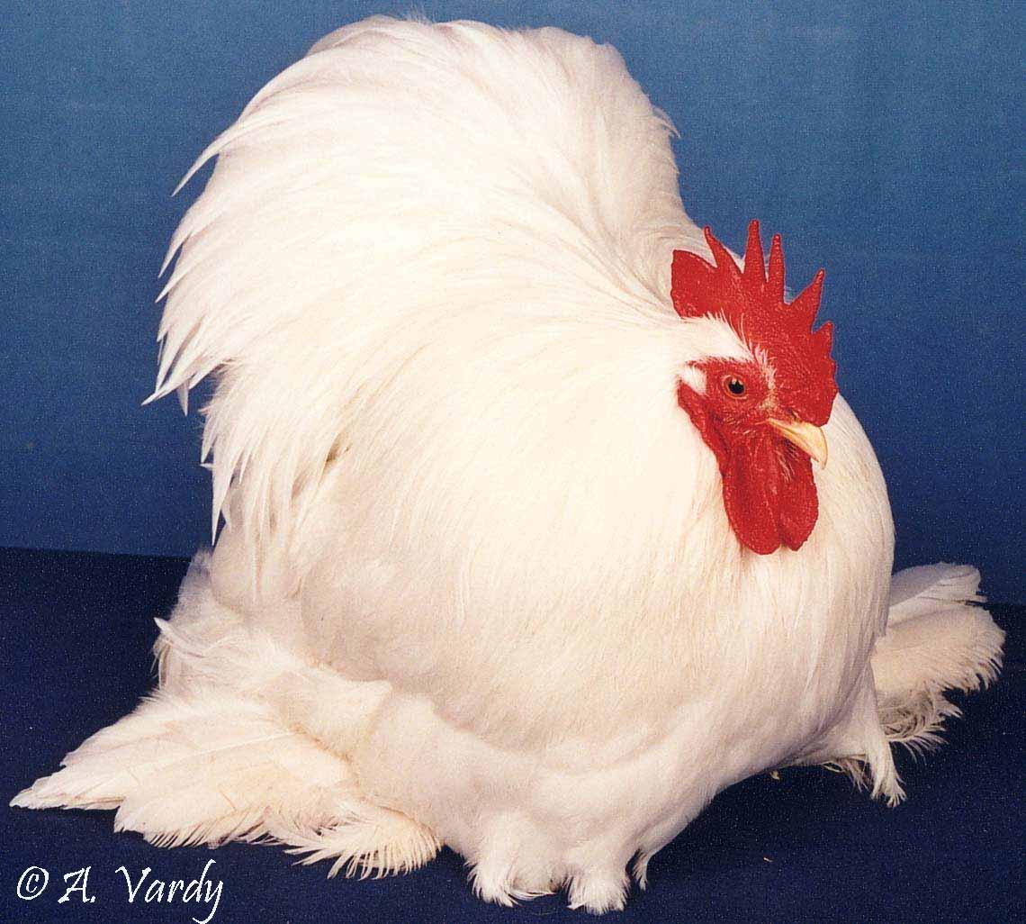 خروس کوشین سفید
