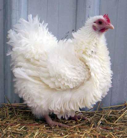مرغ فری سفید